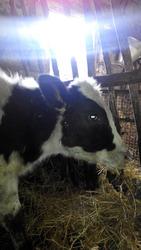 Продам телку (голштинка,  канадской селекции). Родилась в марте 2015 го
